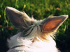 F l o c o n (Cé Graphy's) Tags: sonycybershot sonydsch1 shot camera capture picture photo photographie animal lapin rabbit sun garden publicgarden animaldecompagnie pet light hairs ears cute campaign