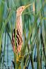 Stripe-backed Bittern, El Palenque pampa, Argentina (frankmetcalf) Tags: stripebackedbittern argentina pampa marsh water rushes reeds