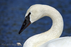 Beauty and Grace (PamsWildImages) Tags: swan trumpeter bird britishcolubia canada canon nature naturephotographer wildlife wildlifephotographer pammullins pamswildimages