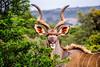 Koudou démasqué (michelgroleau) Tags: kudu kudos antilope antelope animal africa southafrica corne horn