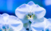 Over (frederic.gombert) Tags: orchidee white orchid flower flowers light sun color blue macro plant bunch