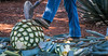 2017 - Mexico - Tequila - Blue Agave Piña (Ted's photos - For Me & You) Tags: 2017 cropped mexico nikon nikond750 nikonfx tedmcgrath tedsphotos tedsphotosmexico tequila vignetting coa jimador tequilajalisco tequilatour santiagodetequila unesco unescoworldheritagesite boot denim denimjeans pineapple blueagave piña agave plant agaveplant leavers