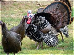 Happy Thanksgiving! (camera girl 108) Tags: turkeys wild thanksgiving thanks gratitude holiday usa