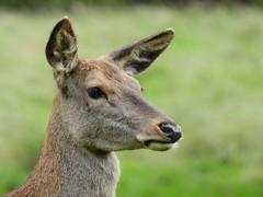 Red deer (PhotoLoonie) Tags: deer reddeer animal wollatonpark nikon
