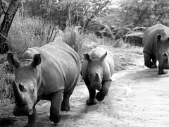 Look Out (rachael242) Tags: look out walk walking run running animal fauna 7dwf black white monochrome nature rhinosauraus rhino trees road dirt