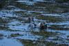 Halichoerus grypus. (gEk.kO) Tags: halichoerus grypus halichoerusgrypus foca focagris greyseal seal illugastadir vasntsnes vantsnes icelan islandia costa coast animal agua wate sony a6000
