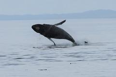 Humpback jumper,  Strait of Georgia, near Telegraph Cove (_Oaktree_) Tags: humpback whale stubbs whalewatching telegraphcove argonautwhale argonaut