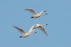 Tundra Swan - Cygnus columbianus (Bill VanderMolen) Tags: fishpointswa michigan