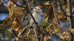 Bruant hudsonien, 28 novembre 2017 ______ American Tree Sparrow, (lacostejm) Tags: zoneimportantespourlaconservationdesoiseaux refugedoiseauxmigrateurs rom zicoqc128 zico zicoquébec refuged'oiseauxmigrateurs refugedoiseauxmigrateursdelîleauxhérons fleuvestlaurent rapidesdelachine secteurdoiseauxmigrateurs lasalle migrationbirdsanctury naturequébec migratorybirdsconventionact loide1994surlaconventionconcernantlesoiseauxmigrateurs lanatureenville héritagelaurentien amisduparcdesrapides verdun bergesdustlaurent lefleuvesaintlaurentungéantfragile bruanthudsonien americantreesparrow spizellaarborea