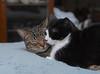 Cousin (tabby male) & Tina (tuxedo female) (rootcrop54) Tags: cousin tabby male cat tina tuxedo masked female mask chenille pillow buddies friends neko macska kedi 猫 kočka kissa γάτα köttur kucing gatto 고양이 kaķis katė katt katze katzen kot кошка mačka gatos maček kitteh chat ネコ