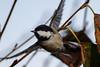 350.jpg (Kico Lopez) Tags: carbonerogarrapinos miño lugo aves galicia birds periparusater spain rio