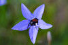 Beetle in a flower (LachMH) Tags: macro flower bug christmas beetle canon 1855mm lens diopter 700d rebel t5i nature natural e blue wild