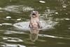 S'up (daveashaw) Tags: otter river nature wildlife stour dorset water nikon tamron hello