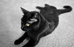Smooth as black velvet (PJD-DigiPic) Tags: cat black yelloweyes blackcat pjddigipic glastonbury supershots bestofcats panasonicdmcg1 lumixcamera glastonburyconnecticut