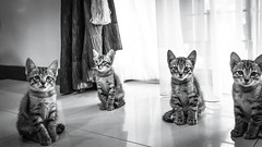 The Fab Four poses for the camera. 😼😽😺🙀 (stratman² (2 many pix!)) Tags: canonphotography eos7dmarkii efs1755mmf28isusm kittens gatito chaton kitteh creativecommons ccbyncnd catmoments cat flickr elite monochrome blackandwhite greyscale kittenmagazine iso2000