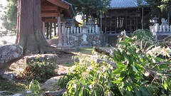 dragonfly 2017 Nov 2 Nakashinjo-shrine (anthroview) Tags: video canons110 916 sabae fukuiken hokuriku ruraljapan 北陸 福井県 田舎 shrine shintoshrine jinja 神社 神道 nakashinjo nakashinjoshrine tombou dragonfly kumonosu spiderweb spidersilk stonelantern