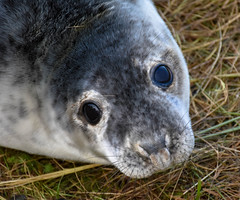 Look into my Eyes (littlestschnauzer) Tags: seal pup young donna nook baby animal cute eyes adorable beach coast lincolnshire england nature 2017 december grey whiskers wildlife