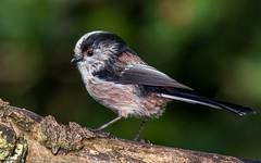 Long tailed tit. (Jez Nunn) Tags: