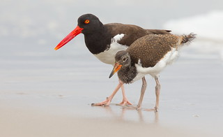 American Oystercatcher with juvi Nickerson beach ny