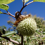 Jimsonweed seedpod thumbnail