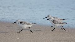 Sanderlings, Boynton Beach, Florida (Ruthie Kansas) Tags:
