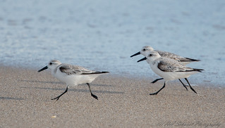 Sanderlings, Boynton Beach, Florida