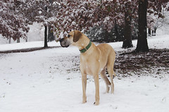 the rare december snow (moke076) Tags: atlanta ga rare december snow snowfall storm south moose great dane dog animal pet fawn grant park nikon d7000 autumn fall
