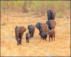 African Bush Elephant (John R Chandler) Tags: africanbushelephant africanelephant animal chamabondavlei elephant herd loxodontaafricana mammal matabelelandnorthprovince zambezinationalpark zimbabwe zw