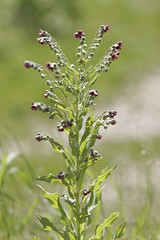 Weeds42 (NRCS Montana) Tags: weeds houndstongue