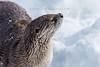 Otter (srimanthks) Tags: wildlife wild animals photography winter white yellowstone national park nature