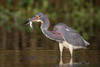 Why Their Necks Flex (gseloff) Tags: tricoloredheron bird feeding fish wildlife nature horsepenbayou pasadena texas kayakphotography gseloff