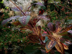 New Rainbow Growth in Autumn - The mind boggles! (kittymax) Tags: kittymax france french poitoucharentes royan shrub plant bush tree smokebush smoketree arbreàperruques cotinuscoggygria royalpurple rainbowplant deciduous mysterious strange surreal odd weird abnormal freaky indiansummer autumn foliage leaves autumnleaves newgrowth variegated shortlived chlorophyll pigment dormancy colour autumncolours truecolours nature mothernature mum insitu pointandshoot handheld 100naturallighting entirelynatural photosynthesis dsc09741a2a2bjpg christmas christmassy