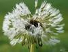DECORATED WITH BEADS....   ( in explore ) (Fimeli) Tags: nature natur plant pusteblume dandelion verblüht blumen flowers