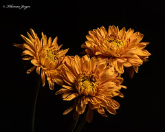 Pals 1028 Copyrighted (Tjerger) Tags: nature beautiful beauty black blackbackground bloom blooming blooms closeup fallwisconsin flora flower flowers gold macro mum plant portrait three trio yellow mums pals natural