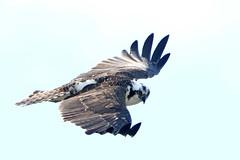 Osprey (Alan Gutsell) Tags: osprey raptor fishing flying hawk fisheagle alan wildlife nature photo texasbirds bird rockport