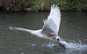 Full throttle (Mukumbura) Tags: swan cygnet muteswan cygnusolor takeoff power running water splash