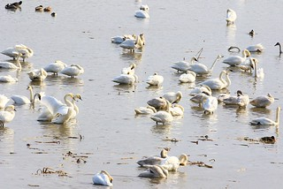 tundra swans resting near Brownsville MN 854A5360