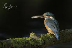 ijsvogel-28033 (Sjors loomans) Tags: ijsvogel kingfisher martinpêcheur deurope alcedo atthis eisvogel holland natuur birds bird sjors loomans outdoor natuurfotografie nature