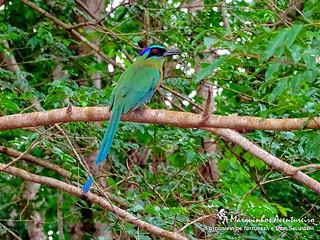 Ave do Paraiso - Udu-de-coroa-azul (Momotus momota)