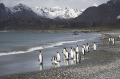 Salisbury Plain, South Georgia. (richard.mcmanus.) Tags: southgeorgia subantarcticislands penguins kingpenguins snowysheathbill elephantseal animal bird wildlife landscape mountains ocean salisburyplain antarctica
