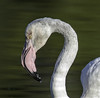 IMG_1934am (ibzsierra) Tags: ibiza eivissa baleares canon 7d ave bird oiseau flamenco flamingo tamron 150600 g2
