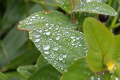 6051 Rain drops on a Hypericum. (Andy - Tak'n a breever) Tags: bbb bud ddd droplets fff flower hhh hypericum leaves raindrops rrr water www xanthic xxx yellow yyy