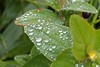 6051 Rain drops on a Hypericum. (Andy - Busyyyyyyyyy) Tags: bbb bud ddd droplets fff flower hhh hypericum leaves raindrops rrr water www xanthic xxx yellow yyy