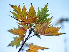 autumn maple twig (uiriidolgalev) Tags: autumn maple twig