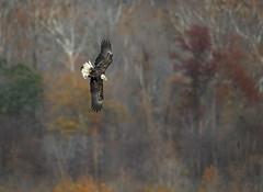 Autumn Splendor... (DTT67) Tags: baldeagle eagle birds birdofprey bif raptors autmumn fallcolors fall nature wildlife nationalgeographic canon 1dxmkii 500mmmkii