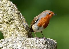 Churchyard Robin. (pstone646) Tags: robin nature bird churchyard gravestone animal wildlife closeup flora kent feathers