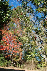 NC Autumn Scene. (dccradio) Tags: lumberton nc northcarolina robesoncounty outdoors outside morning goodmorning fall autumn harvest nikon d40 dslr sky bluesky nature natural tree trees foliage autumnfoliage fallfoliage