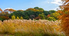 Autumn Trees and Grasses (Jun deCix) Tags: trees grasses fall autmn plants pond landscape