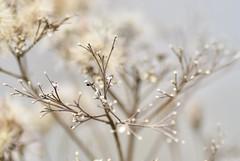 Fall into Winter (B. jeweled) Tags: 7dwf flora naturesgarden shiftingseasons