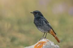 Black Redstart (Phil Gower Bird Photography) Tags: black redstart